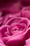 Pink rose detail. Royalty Free Stock Photos