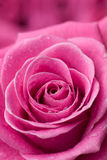 Pink rose detail. Royalty Free Stock Photography