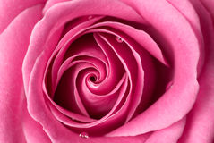 Pink rose detail. Pink rose with few drops of water Royalty Free Stock Photos