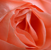 Pink Rose Detail. Pink Rose Macro Detail stock photo