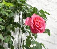 Pink rose Royalty Free Stock Photos