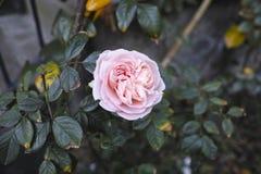 pink rose Royalty Free Stock Image