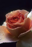 Pink rose with dew Stock Photos