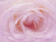 Pink rose in dew drops Stock Images