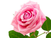 Pink rose with dew drops. Stock Photo