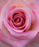 Pink rose with dewdrops Stock Images