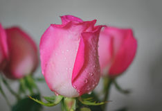 Pink rose with dripping water drops from petals Royalty Free Stock Photos
