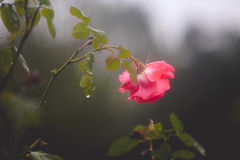 Pink rose drooping on rosebush on a rainy day. A pink rose on a rosebush in winter is getting rained upon.  Moody and hazy image is due to the rain.  Raindrops Royalty Free Stock Photography