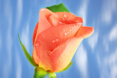 Pink Rose with drops. Against blue background stock image
