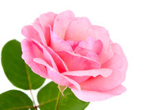 Pink rose with drops Stock Image