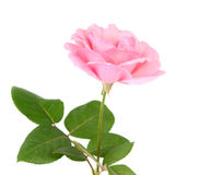 Pink rose with drops Royalty Free Stock Photography