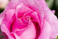 Pink Rose with drops. Pink blooming rose with raindrops Royalty Free Stock Image