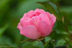 Pink rose in drops of dew in the early morning. Small pink rose in drops of dew royalty free stock photography