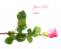 Pink rose with drops isolated Royalty Free Stock Photos