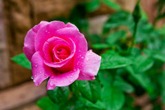 Pink rose with drops Stock Images