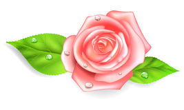 Pink rose with drops. Pink rose with two green leaves and dew drops Stock Images