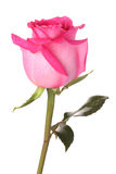 Pink rose with drops of water. On a white background Royalty Free Stock Photography
