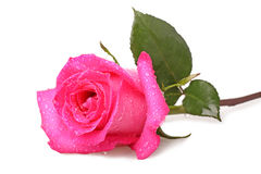 Pink rose with drops of water Royalty Free Stock Photos