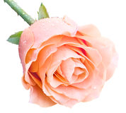 Pink rose. With drops of water Royalty Free Stock Images