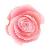 Pink rose . EPS 10 Stock Image