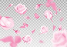 Pink rose falling flowers and buds vector background. 3D romantic illustration. Pink rose falling flowers and buds vector on transparent background. 3D romantic Stock Image