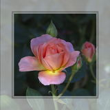 Pink rose for falling in loe Royalty Free Stock Photography
