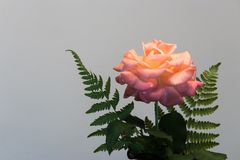 Pink rose on right Royalty Free Stock Images