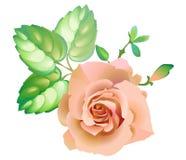 Pink_rose_flower 免版税库存图片