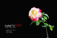 Pink rose flower Royalty Free Stock Image
