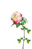Pink rose flower Royalty Free Stock Photo