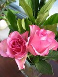 Pink rose flower. Pink rose fower and leafs royalty free stock photos