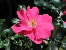 Pink rose flower. And plant stock photography