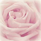 Pink rose flower Stock Image