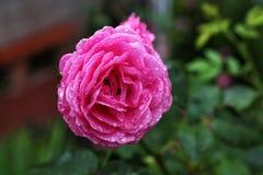 Pink rose flower Stock Photo