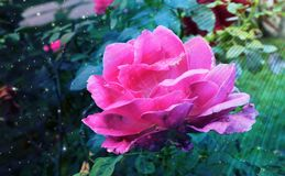Divine Blessings - A Pink Rose Flower bathing in Sunrays. This is a beautiful photograph of a pink rose flower Stock Photo