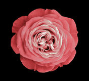 Pink rose flower. black isolated background with clipping path. Nature. Closeup no shadows. Stock Images