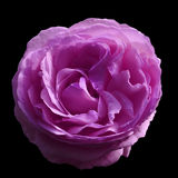 Pink rose flower  on black isolated  background with clipping path.  no shadows. Closeup. Royalty Free Stock Image