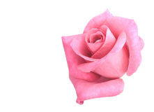 Pink rose flower bloom Stock Images