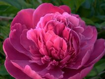 Pink Rose Flower Blooming during Daytime Stock Images