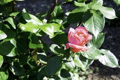 Pink rose flower blooming in a garden in spring, bright sunlight copy space royalty free stock photography