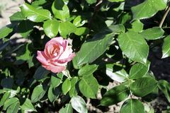 Pink rose flower blooming in a garden in spring, bright sunlight copy space stock photo