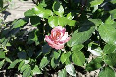 Pink rose flower blooming in a garden in spring, bright sunlight royalty free stock photo