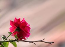 Pink rose flower. Stock Photo
