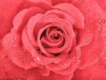 Pink rose flower blossom with water drops. Holidays greetings ca Royalty Free Stock Photography