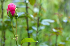 Pink rose flower on blurred green background Royalty Free Stock Photos