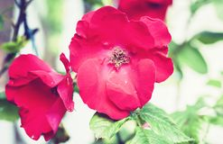 Pink rose flower on the branch in the garden.  royalty free stock images
