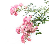 Pink rose flower on branch and leaf isolated on white Stock Images