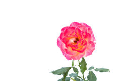 Pink rose flower on branch and leaf isolated on white Royalty Free Stock Photography