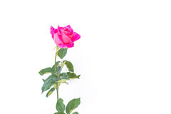 Pink rose flower on branch and leaf isolated on white Royalty Free Stock Images