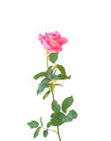 Pink rose flower on branch and leaf isolated on white Stock Photo